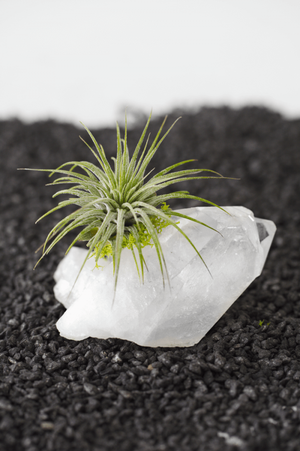 Quartz Cluster Large Tillandsia Air Plant