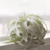 Air Plant Tillandsia Xerographica 1