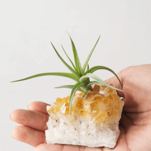 Small Citrine Air Plant