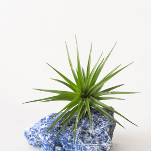Sodalite Tillandsia Air Planter