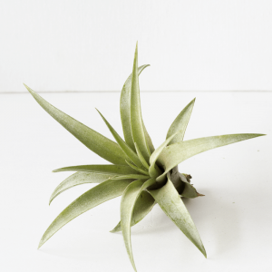 Air Plant Tillandsia Capitata Peach