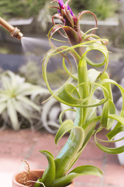 Misting Your Air Plant