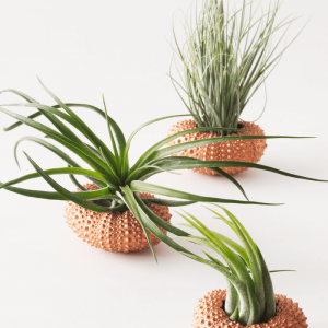 Air Plant Tillandsia Sea Urchin Copper