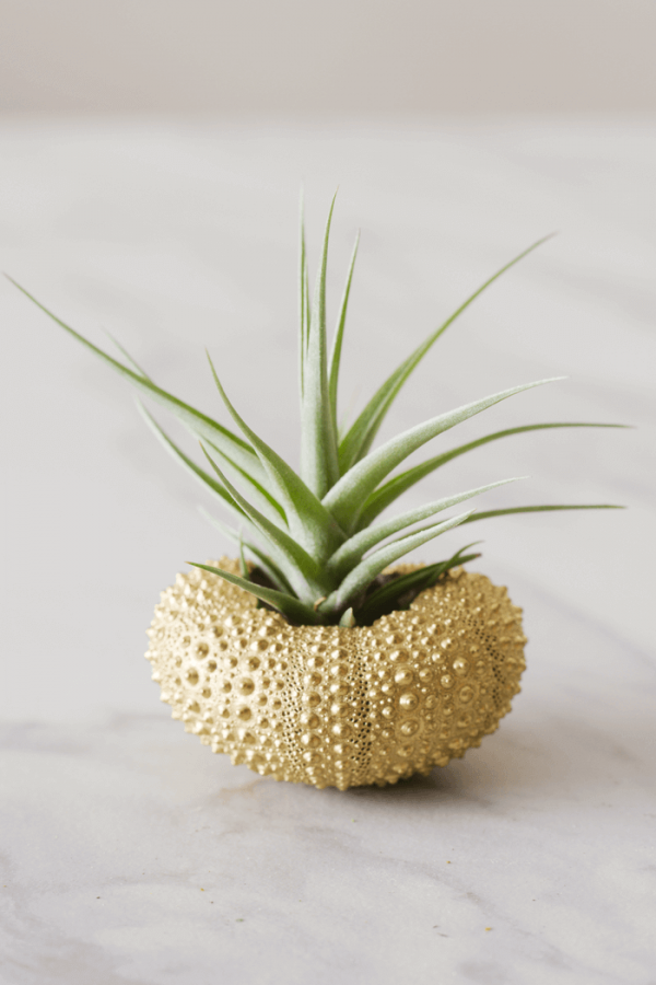 Gold Sea Urchin Air Plant Jellyfish