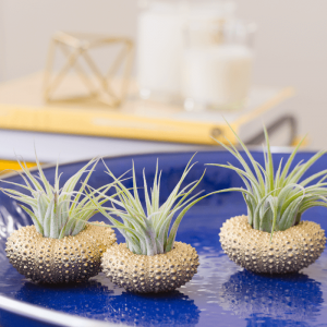 Air Plant Sea Urchin Planters Gold