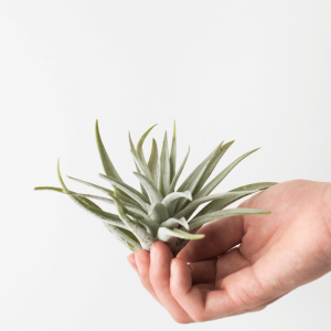 Air Plant Tillandsia Harrisii