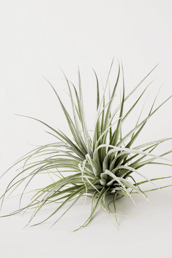Air Plant Tillandsia Houston