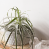 Air Plant Tillandsia Straminea