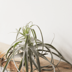 Tillandsia Air Plant Straminea