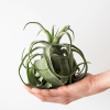 Air Plant Tillandsia Streptophylla