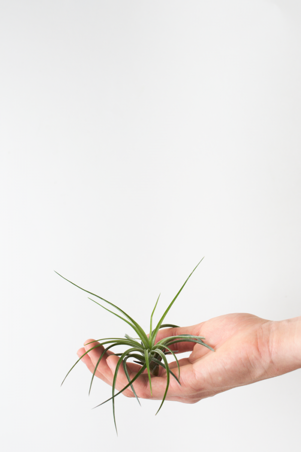 Air Plant Tillandsia Stricta