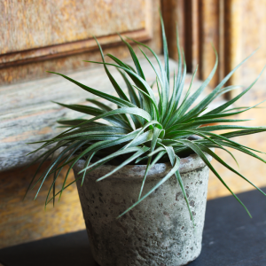 Air Plant Tillandsia Stricta Compacta