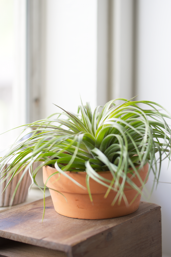 Air Plant Tillandsia Cousin It
