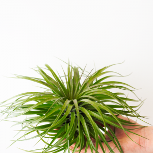 Air Plant Tillandsia Stricta Cousin It