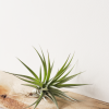 Air Plant Tillandsia Stricta Pink Bronze