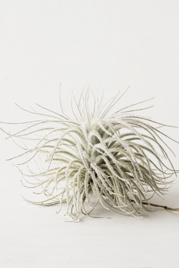 Air Plant Tillandsia Tectorum large