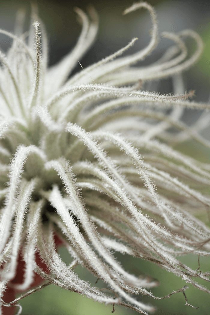 Air Plant Tillandsia Tectorum