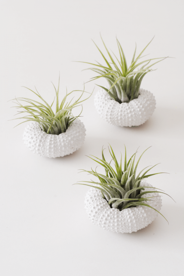 White Sea Urchin Air Plant Jellyfish