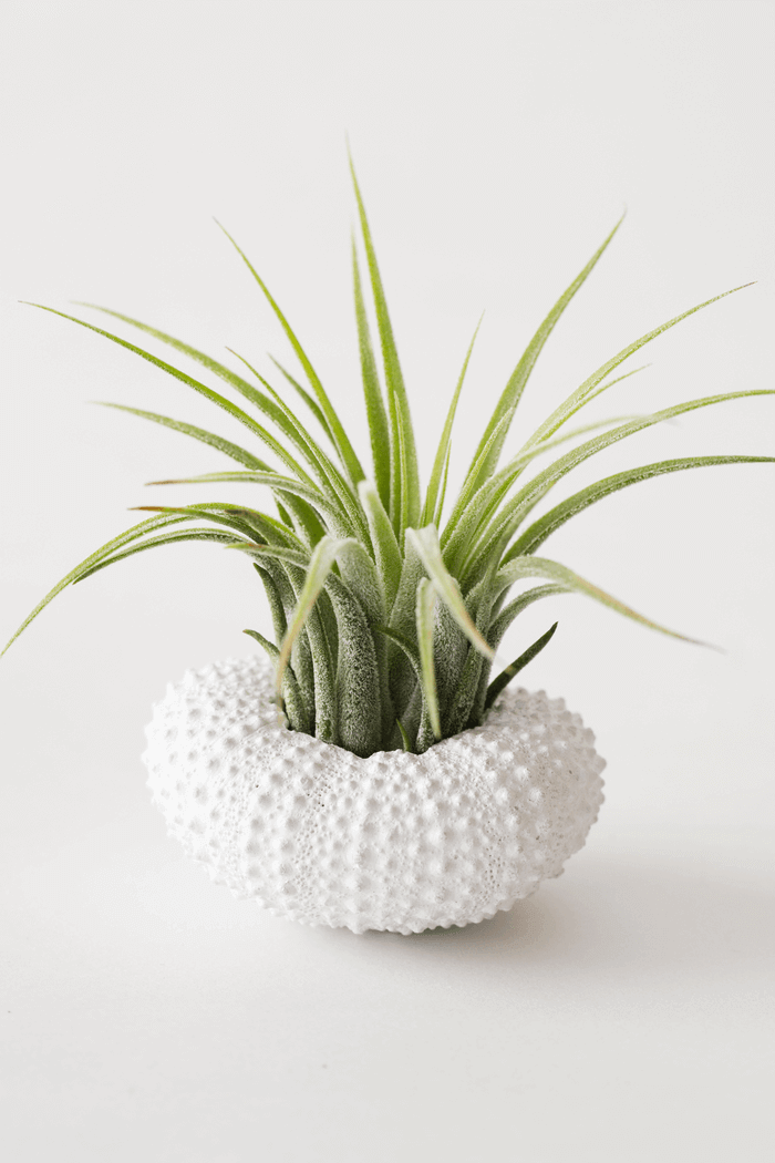 Air Plant Sea Urchin Shells