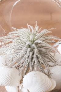 Air Plant Terrarium Tillandsia Tectorum
