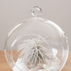 Air Plant Terrarium Tillandsia Tectorum