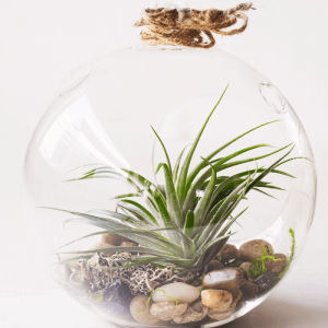 Large Air Plant Terrarium Stricta Compacta