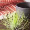 AIr Plant Tillandsia Andreana