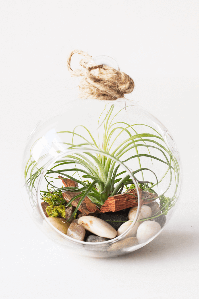 Air Plant Terrarium Stricta Fine Leaf