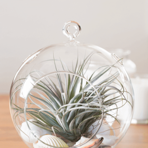 Air Plant Terrarium Tillandsia Houston