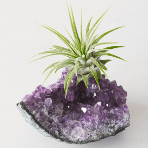 Amethyst Druzy Medium Air Plant