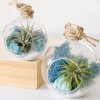 Color Air Plant Terrarium Blue
