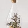 Tear Drop Air Plant Terrarium Tillandsia Pruinosa
