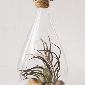 Tear Drop Air Plant Terrarium Tillandsia Pruinosa