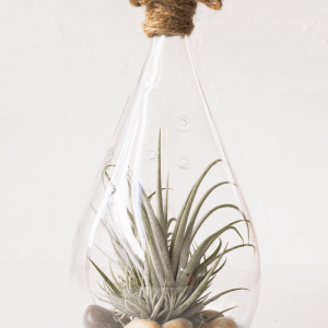 Tear Drop Air Plant Terrarium Tillandsia Utriculata
