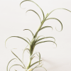 Air Plant Tillandsia Crocata