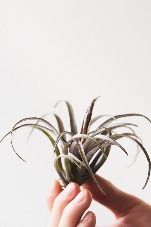 Air Plant Tillandsia Capitata Dominican