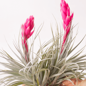 Tillandsia Air Plant Houston