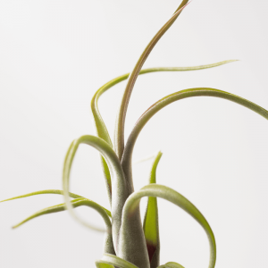 Air Plant Tillandsia Intermedia