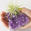 Large Amethyst Druzy Air Plant
