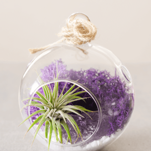 Color Air Plant Terrarium Purple