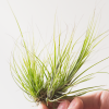 Air Plant Tillandsia Seideliana
