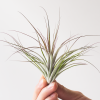 Air Plant Tillandsia Stricta Black Tips