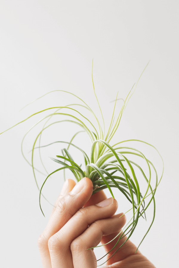Air Plant Tillandsia Stricta Fine Leaf