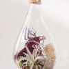 Tear Drop Air Plant Terrarium Tillandsia Chiapensis