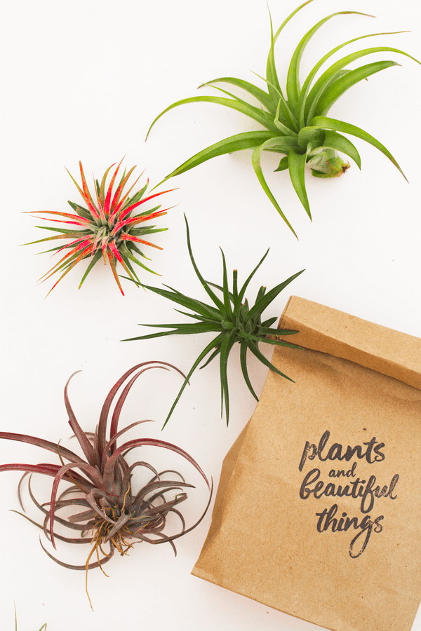 Air Plant Colorful Pack