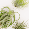 Air Plant Tillandsia Exotic
