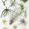 Air Plant Tillandsia Super Value Pack