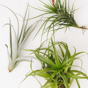 Large Tillandsia Air Plants
