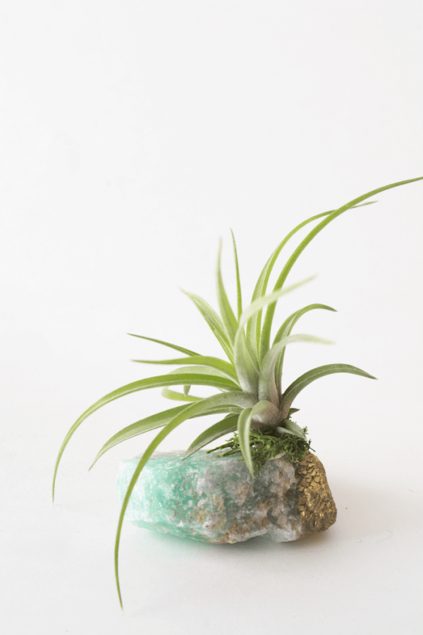 Fluorite Tillandsia Air Planter