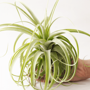 Air Plant Tillandsia Redy